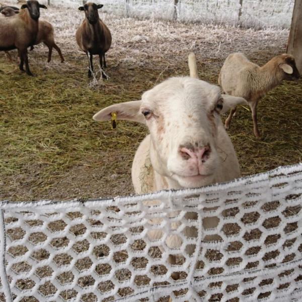 Schaf hinter dem Hasendraht